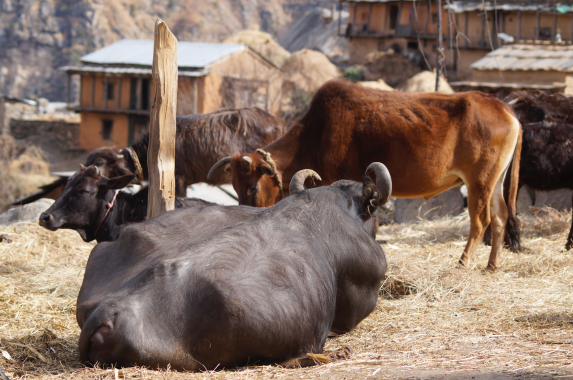 The fattened cows can't be slaughtered for meat